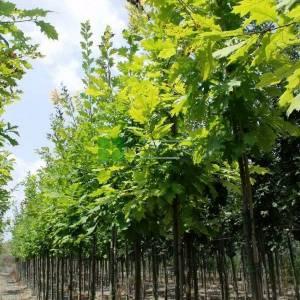 Kızaran yapraklı Pelit, Palamut ağacı, Meşe palamudu,Amerikan meşesi - Quercus rubra (FAGACEAE)