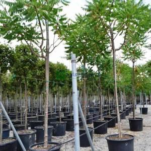 Kızaran Sumak ağacı, Sumak çalısı - Rhus typhina laciniata (ANACARDIACEAE)