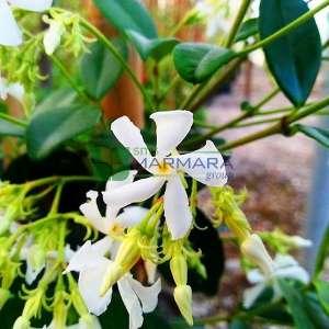 Beyaz çiçekli yıldız çiçekli çin yasemini - Rhyncospermum (Trachelospermum) jasminoides (APOCYNACEAE)