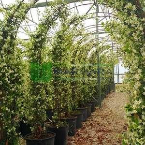 Beyaz çiçekli yıldız çiçekli çin yasemini - Rhyncospermum (Trachelospermum) jasminoides gateway (APOCYNACEAE)
