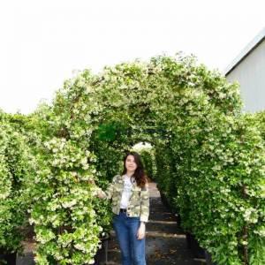 Beyaz çiçekli yıldız çiçekli çin yasemini kapı formlu - Rhyncospermum (Trachelospermum) jasminoides arco (APOCYNACEAE)