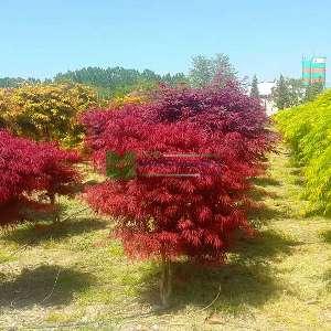 Cutleaf Japanese Maple, Threadleaf Japanese Maple 'Crimson princess