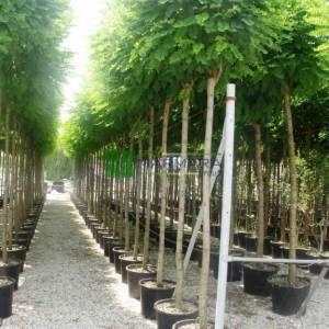 akasya top Aşılı - Robinia pseudoacacia umbraculifera (LEGUMINOSAE)
