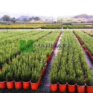 biberiye, Kuşdili, Rosmarin, Zeytin çiçeği,Hasalban,Akpüren,Akpürün - Rosmarinus officinalis (LAMIACEAE)