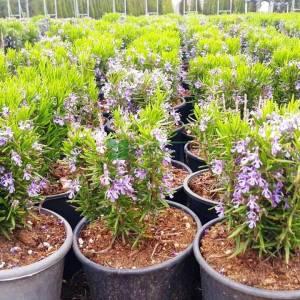 biberiye, Kuşdili, Rosmarin, Zeytin çiçeği, Hasalban, Akpüren, Akpürün - Rosmarinus officinalis (LAMIACEAE)