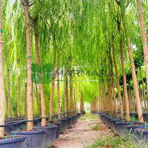 Salkım söğüt - Salix babylonica (SALICACEAE)