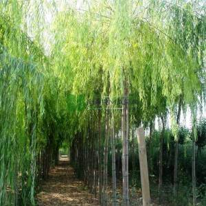 Salkım söğüt, Ağlayan söğüt - Salix babylonica (SALICACEAE)