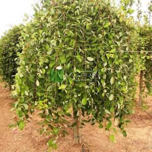 Ters aşılı keçi söğüt - Salix caprea pendula (SALICACEAE)