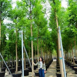 Japon soforası, Pagoda ağacı, bilgin ağacı - Sophora japonica regent (LEGUMINOSAE)
