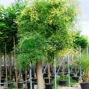 Ters aşılı japon sofora - Sophora japonica pendula (LEGUMINOSAE)