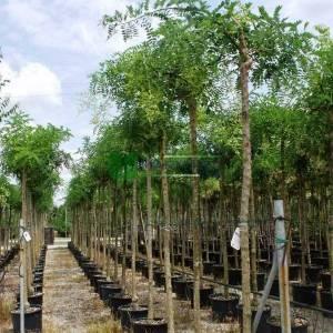 Ters aşılı japon sofora, Japon soforası, Pagoda ağacı, bilgin ağacı - Sophora japonica pendula (LEGUMINOSAE)