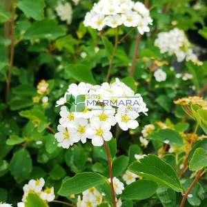 Keçi sakalı, Japon ispiryası - Spiraea x bumalda (ROSACEAE)