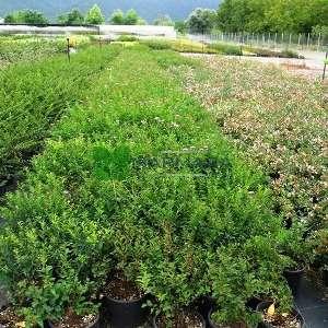 Keçi sakalı, Japon ispiryası,pembe çiçekli - Spiraea x vanhouttei (ROSACEAE)