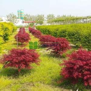 Crimson queen japon akçaağacı - Acer palmatum dissectum red crimson queen (ACERACEA)