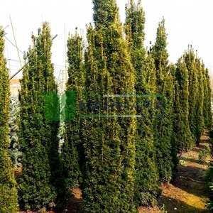 Altuni yapraklı Sütun formlu kırmızı meyveli altuni porsuk - Taxus baccata fastigiata aurea (TAXODIACEAE)