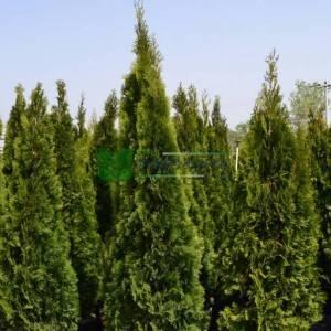 Batı mazısı, Smarag mazısı - Thuja occidentalis smaragd (CUPRESSACEAE)