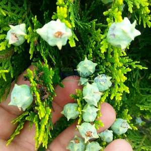 Altuni yapraklı doğu piramit mazısı,Amerikan mazısı - Thuja orientalis pyramidalis aurea (Platycladus stricta)(Biota) (CUPRESSACEAE)
