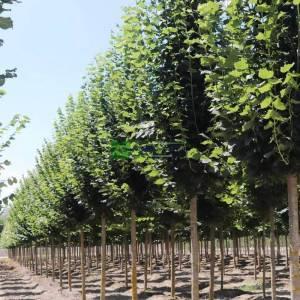 Büyük yapraklı yaz ıhlamuru, Kokulu ıhlamur - Tilia platyphyllos (Tilia grandifolia Ehrh.) (TILIACEAE)