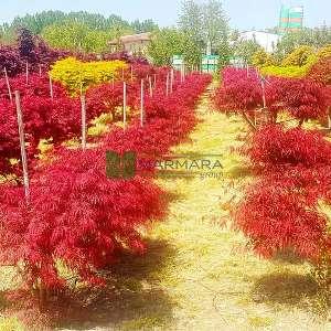 Garnet japon akçaağacı - Acer palmatum dissectum red garnet (ACERACEA)