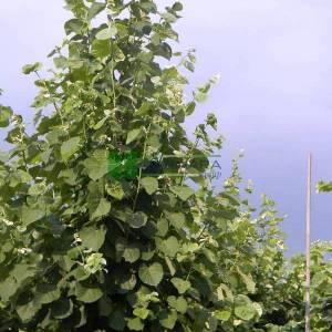 Gümüşi yapraklı ıhlamur, Kokulu ıhlamur - Tilia tomentosa (Tilia argentea) (TILIACEAE)