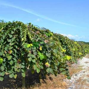 Ters aşılı gürgen yapraklı dağ karaağacı - Ulmus glabra pendula (ULMACEAE)