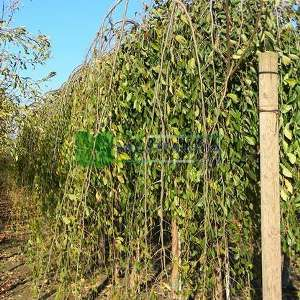 Karaağaç, Gürgen yapraklı, Aşılı karaağaç, Dağ karaağacı - Ulmus pumila mauro (Ulmus pendula mauro) (ULMACEAE)