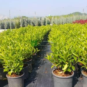 Beyaz çiçekli herdem yeşil yağlı parlak kartopu - Viburnum lucidum (CAPRIFOLIACEAE)