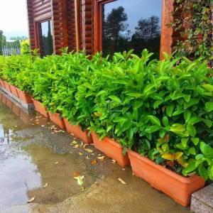 Beyaz çiçekli herdem yeşil çit formlu yağlı kartopu - Viburnum lucidum wall (CAPRIFOLIACEAE)
