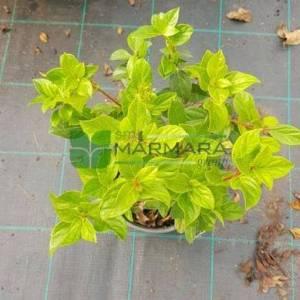Defne yapraklı beyaz çiçekli herdaim yeşil kartopu,Kış kartopu - Viburnum tinus (CAPRIFOLIACEAE)