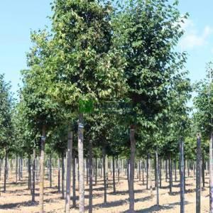 Küçük yapraklı kış ıhlamuru, Kokulu ıhlamur - Tilia cordata (Tilia parvifolia) (TILIACEAE)