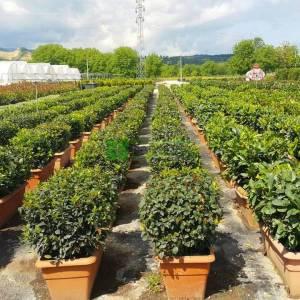 Defne yapraklı beyaz çiçekli herdaim yeşil kartopu,Kış kartopu - Viburnum tinus wall (CAPRIFOLIACEAE)