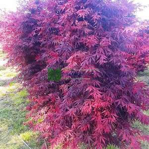 Tamukeyama japon akçaağacı - Acer palmatum dissectum red tamukeyama (ACERACEA)