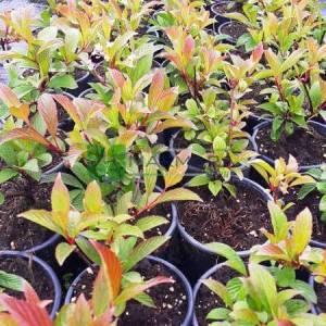 Pembe çiçekli yaprak döken kartopu - Viburnum x bodnantense dawn (CAPRIFOLIACEAE)