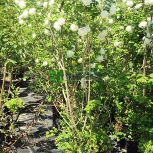 Beyaz çiçekli yaprak döken kartopu - Viburnum opulus (CAPRIFOLIACEAE)