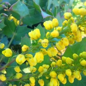 Amerikan sarıboya çalısı, Oreogon asması - Mahonia x media charity (BERBERIDACEAE)