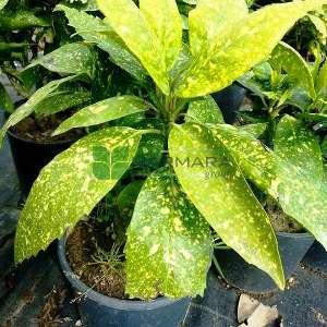 Alacalı yapraklı Japon akubası - Aucuba japonica variegata (CORNACEAE)