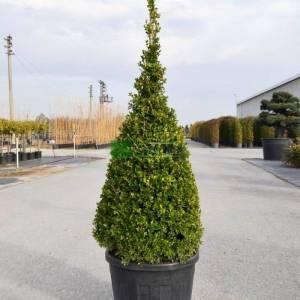 amerikan şimşir konik formlu - Buxus microphylla cone (BUXACEAE)