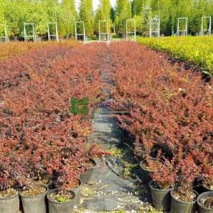 Sarı kenarlı kırmızı berberis - Berberis thunbergii admiration (BERBERIDACEAE)