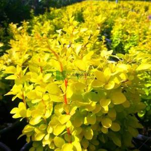 Altuni yapraklı berberis, Sarı hanım tuzluğu, kadın tuzluğu - Berberis thunbergii maria (BERBERIDACEAE)