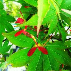 Osakazuki japon akçaağacı - Acer palmatum green osakazuki (ACERACEA)