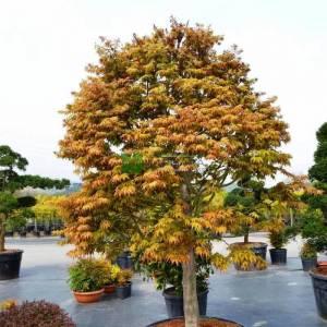 Osakazuki japon akçaağacı - Acer palmatum green osakazuki multi stem (ACERACEA)