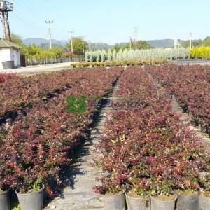 Bodur kırmızı-yeşil yapraklı berberis - Berberis x media red jewel (BERBERIDACEAE)