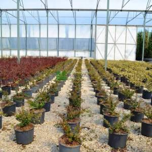 Bodur kırmızı-yeşil yapraklı berberis - Berberis media red jewel (BERBERIDACEAE)