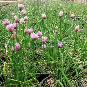 Süs soğanı, dev süs soğanı - Allium giganteum (AMARYLLIDACEAE)