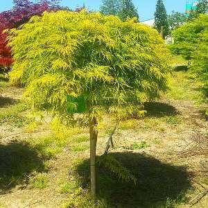 Flavenscens japon akçaağacı - Acer palmatum dissectum green flavescens (ACERACEA)