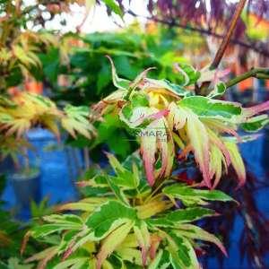Kelebek japon akçaağacı - Acer palmatum butterfly (ACERACEA)