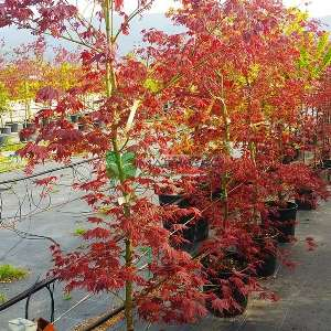 Burgundy lace japon akçaağacı - Acer palmatum burgundy lace (ACERACEA)