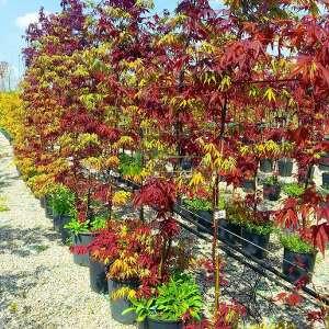 Bloodgood-osakazuki japon akçaağacı - Acer palmatum bloodgood-osakazuki (ACERACEA)