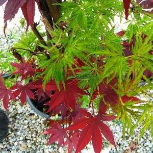 Bloodgood-seiryui japon akçaağacı - Acer palmatum bloodgood-seiryui (ACERACEA)