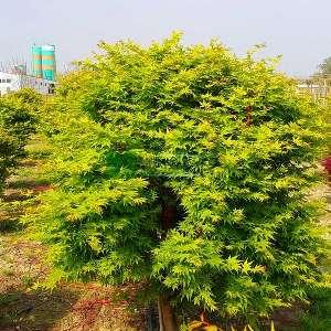 Sango kaku japon akçaağacı - Acer palmatum green sango kaku (ACERACEA)